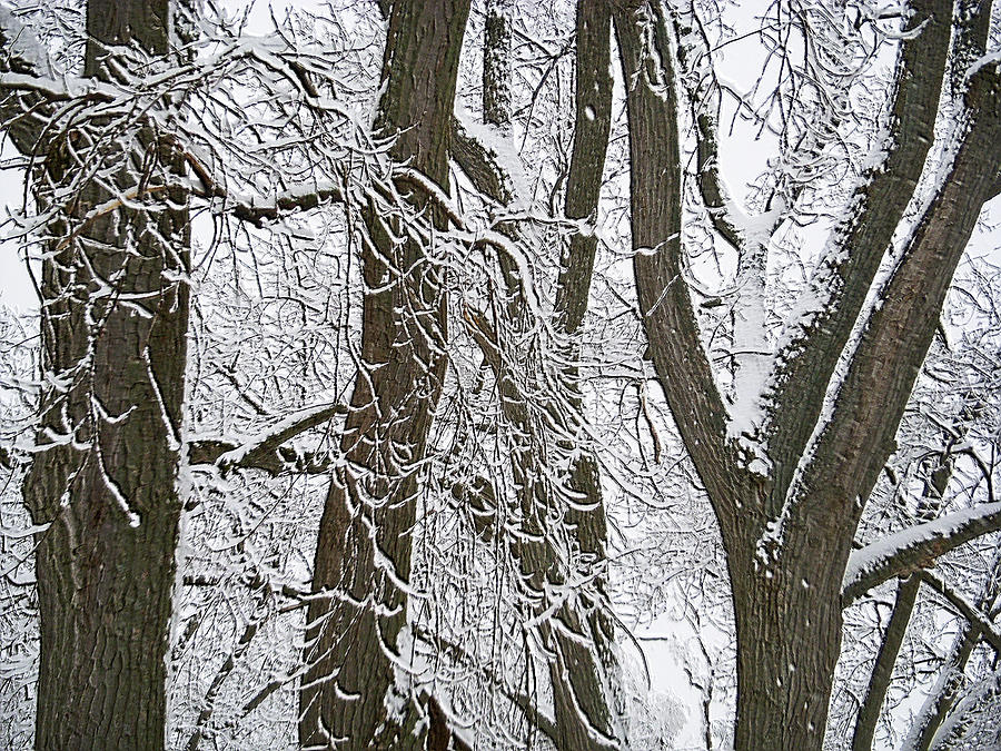 Winter Trees  Photograph