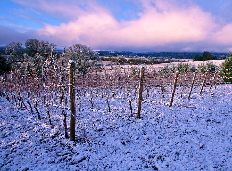 Winter Vineyard Photograph  - Winter Vineyard Fine Art Print