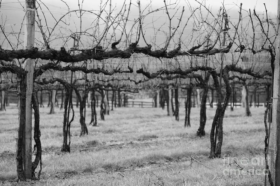Winter Vineyard Photograph