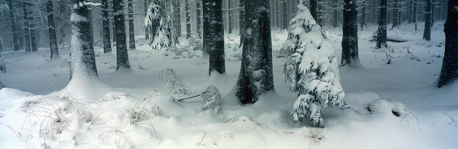 Wintry Fir Forest Photograph  - Wintry Fir Forest Fine Art Print
