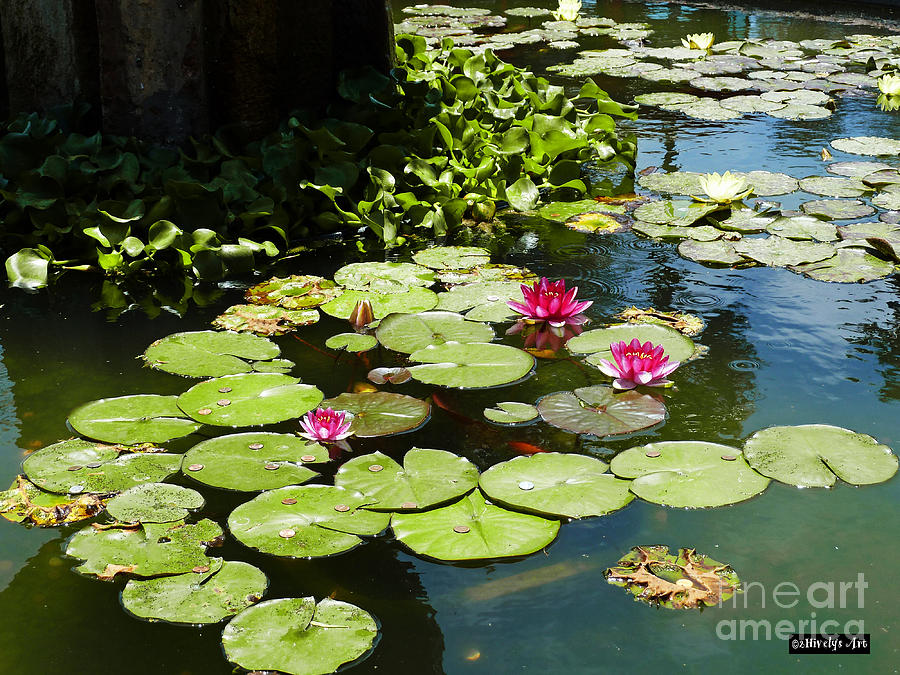 Wishes Among The Water Lilies Photograph - Wishes Among The Water Lilies by Methune Hively