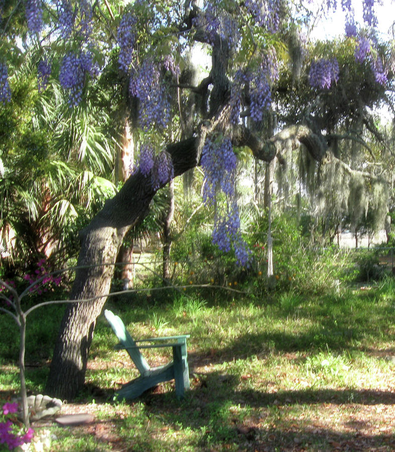 Wisteria Dreams Photograph  - Wisteria Dreams Fine Art Print