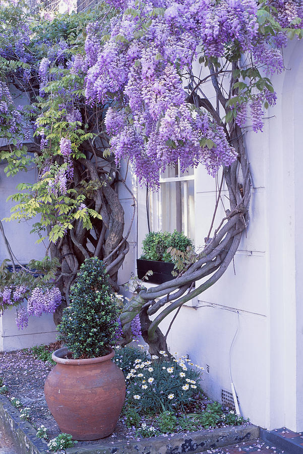 wisteria growing next to front window buxus in black windowbox white wall terracotta pot with