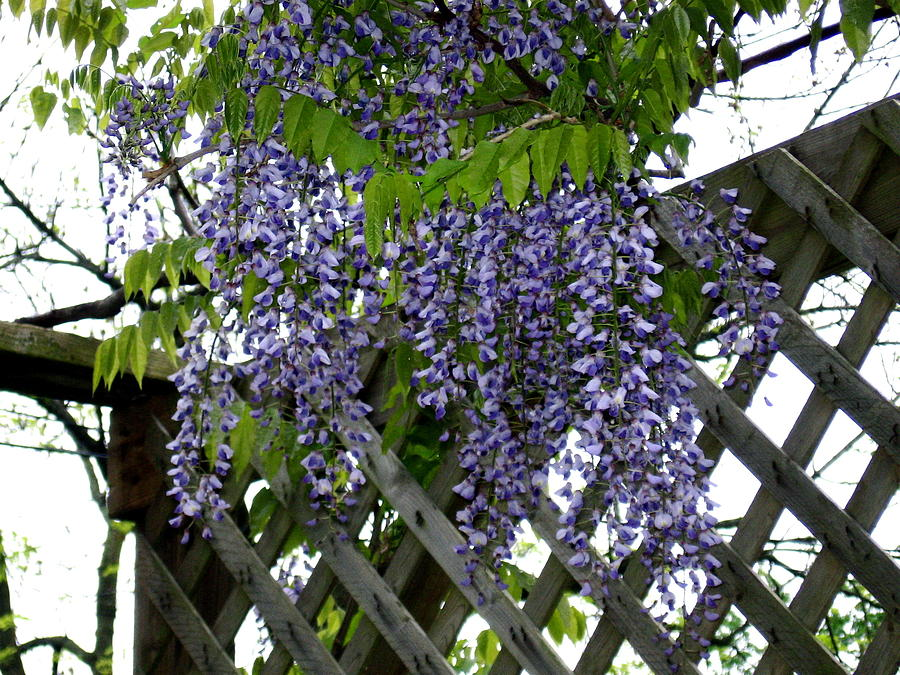 Flower Photograph - Wisteria by Jody Prater