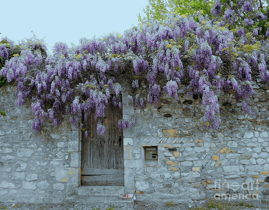 Wisteria Wall Viviers France Photograph  - Wisteria Wall Viviers France Fine Art Print