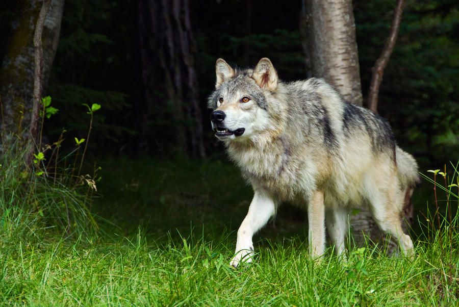 Wolf Woods | MMKB | FANDOM powered by Wikia