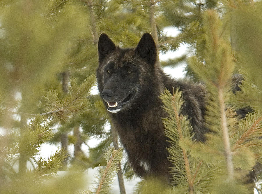 Wolf In Yellowstone Photograph