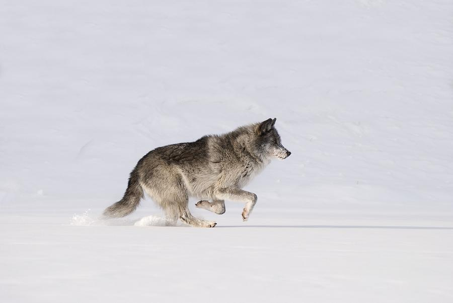 Wolf Running In The Snow is a photograph by Philippe Widling which was ...