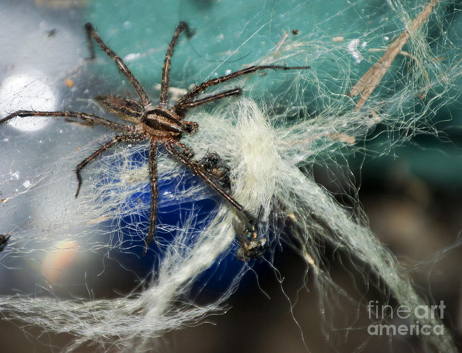 Wolf Spider Eating Photograph