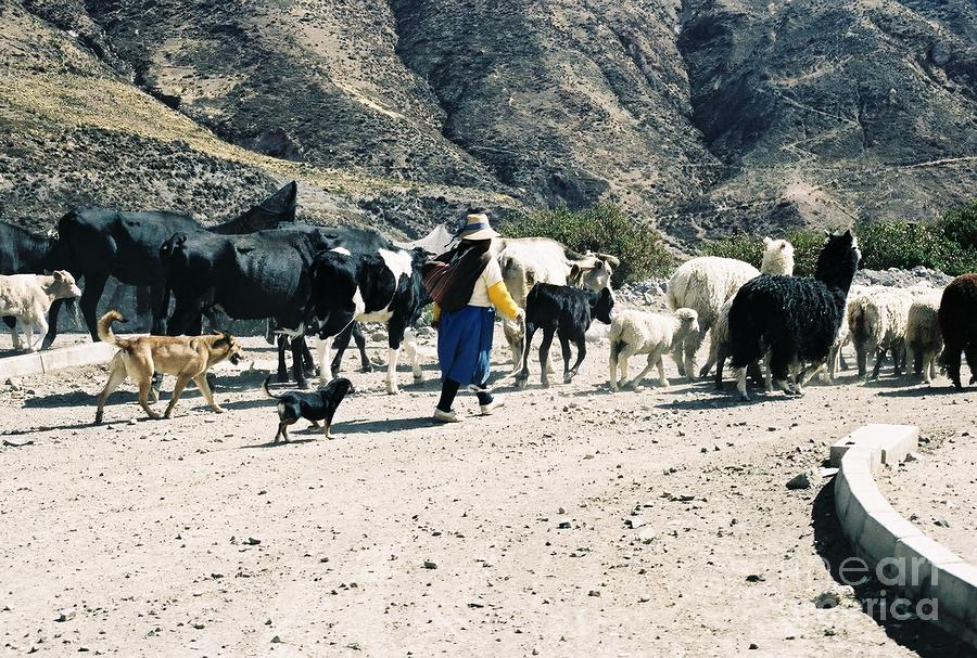 Woman Leading Cattle In Chile Photograph