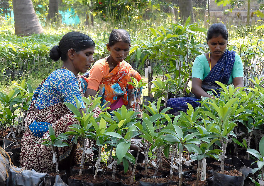 Women Grafting Mango Plants Photograph