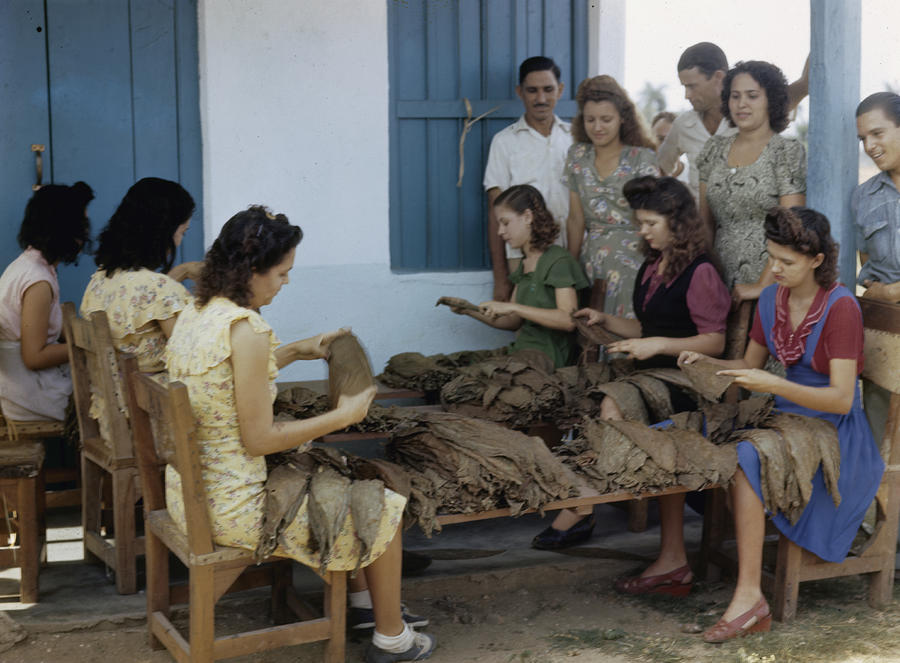 Women Inspect Tobacco Leaves And Select Photograph