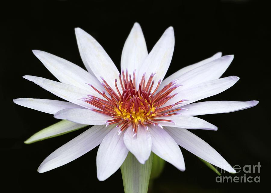 Wonderful White Water Lily Photograph  - Wonderful White Water Lily Fine Art Print