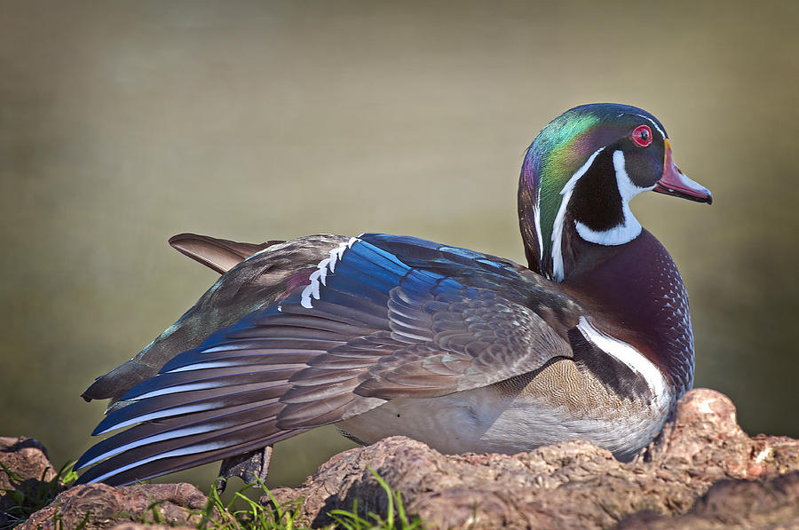 Wood Duck Profile Photograph  - Wood Duck Profile Fine Art Print