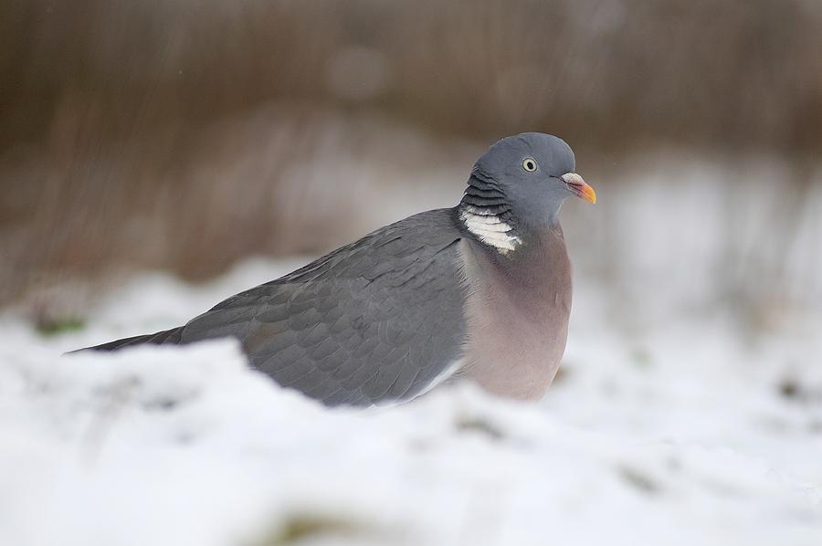 Wood Pigeon In Snow Photograph