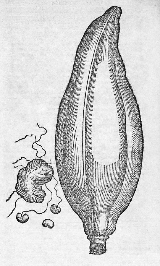 Woodcut Of A Soursop Fruit Photograph