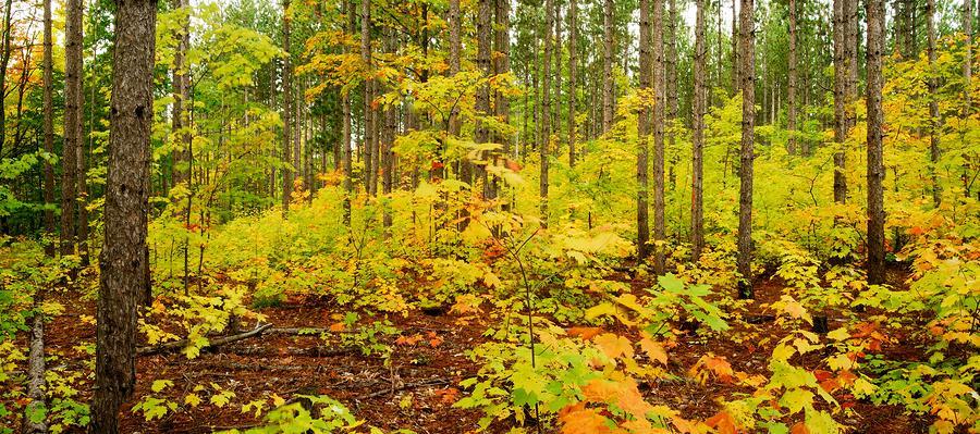 Woodland Panorama Photograph
