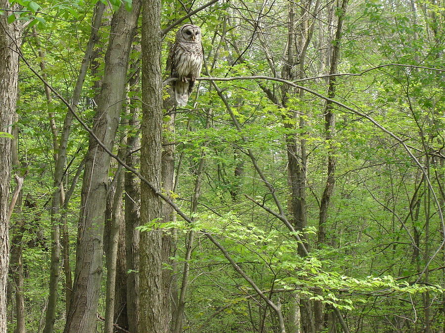 Woody The Barred Owl Mi Photograph  - Woody The Barred Owl Mi Fine Art Print