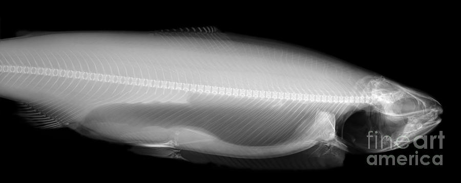 X-ray Of A Trout Photograph