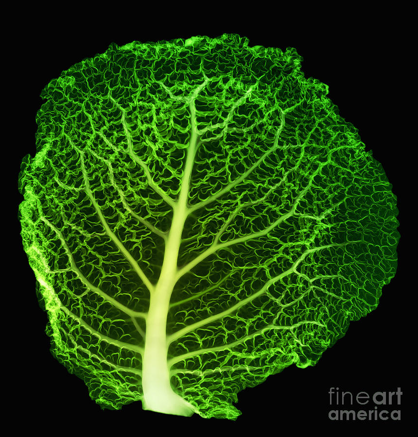 Food Photograph - X-ray Of Cabbage Leaf by Ted Kinsman
