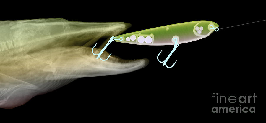 X-ray Of Muskie & Lure Photograph