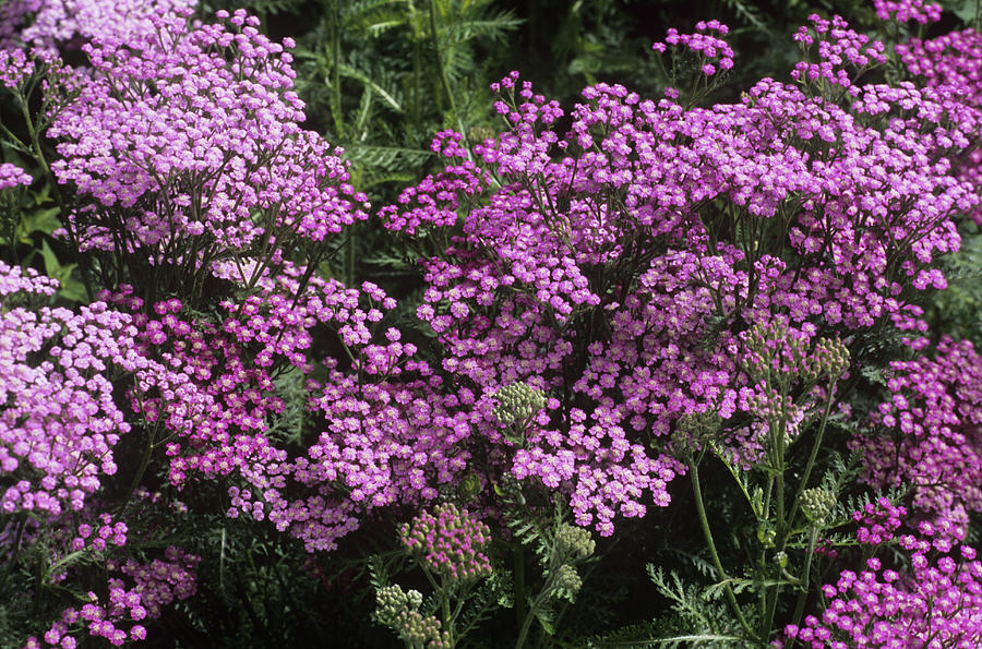 Yarrow (achillea 'lilac Beauty') by Adrian Thomas