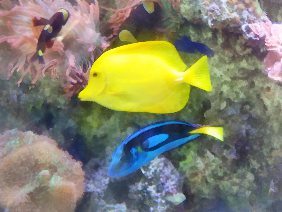 Yellow And Blue Tang Fish Photograph  - Yellow And Blue Tang Fish Fine Art Print