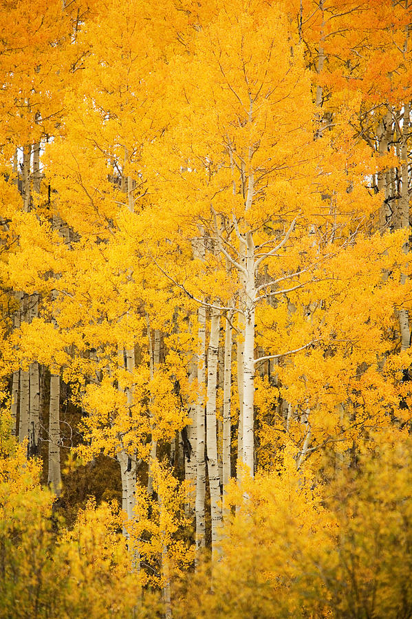Yellow Aspens Photograph  - Yellow Aspens Fine Art Print