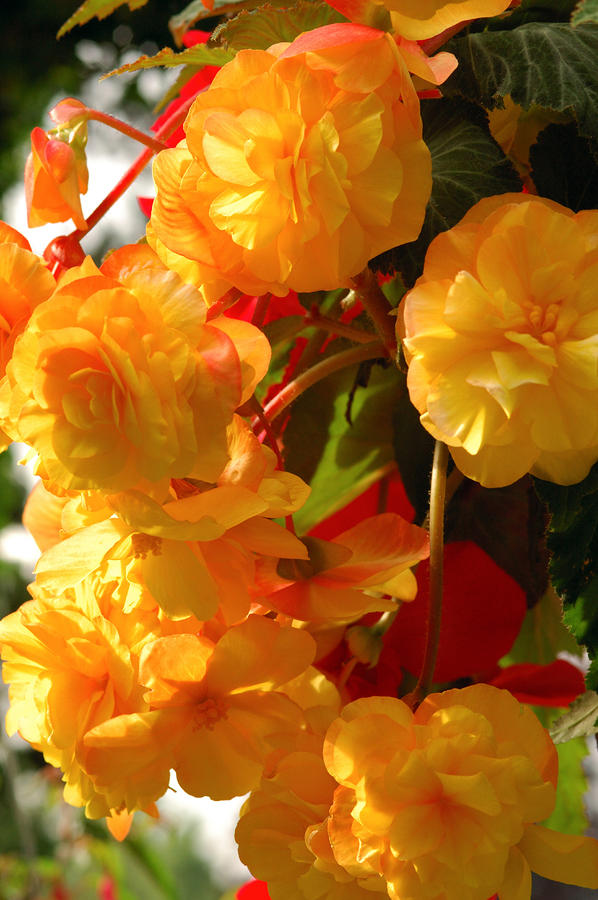 Yellow Begonia Flowers.  Victoria Photograph  - Yellow Begonia Flowers.  Victoria Fine Art Print