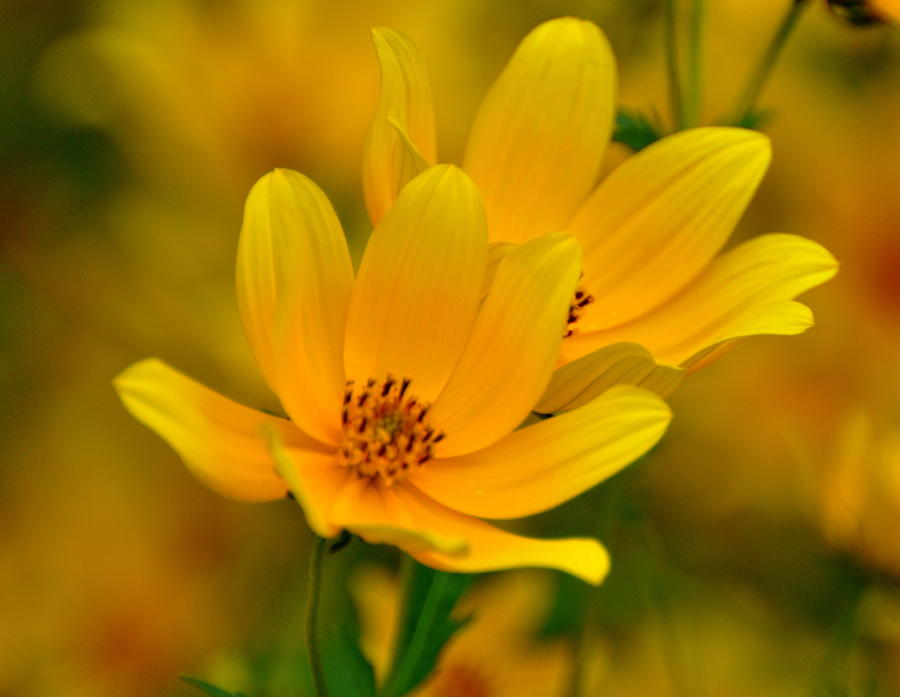 Yellow Blaze Photograph  - Yellow Blaze Fine Art Print