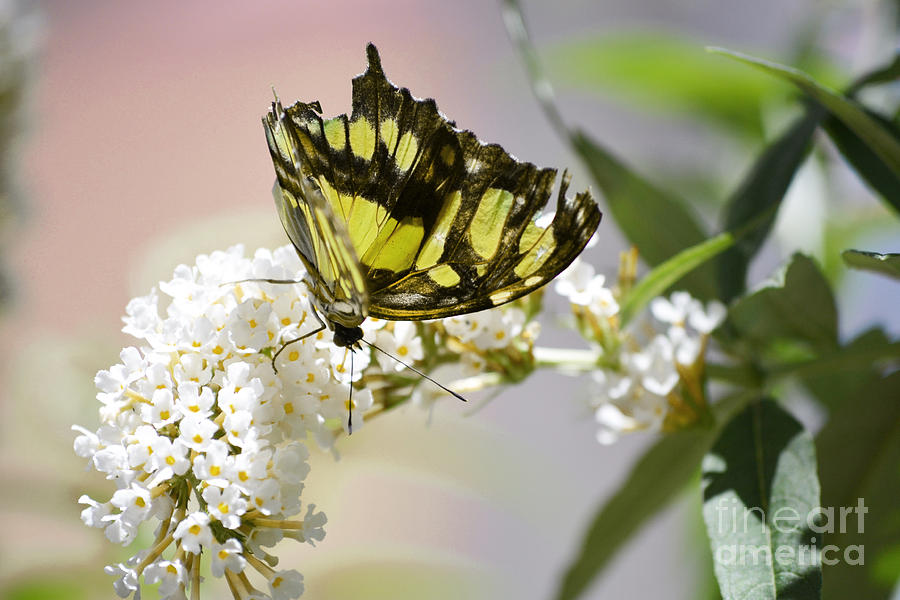 Yellow Butterfly Beauty Photograph