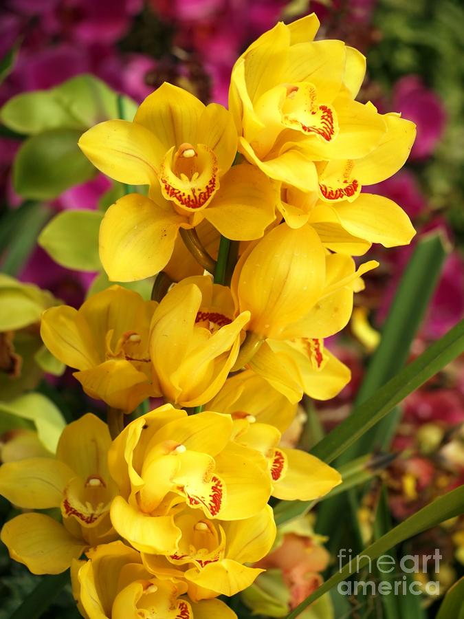 Yellow Butterfly Orchids by Yali Shi Yellow Butterfly Orchid