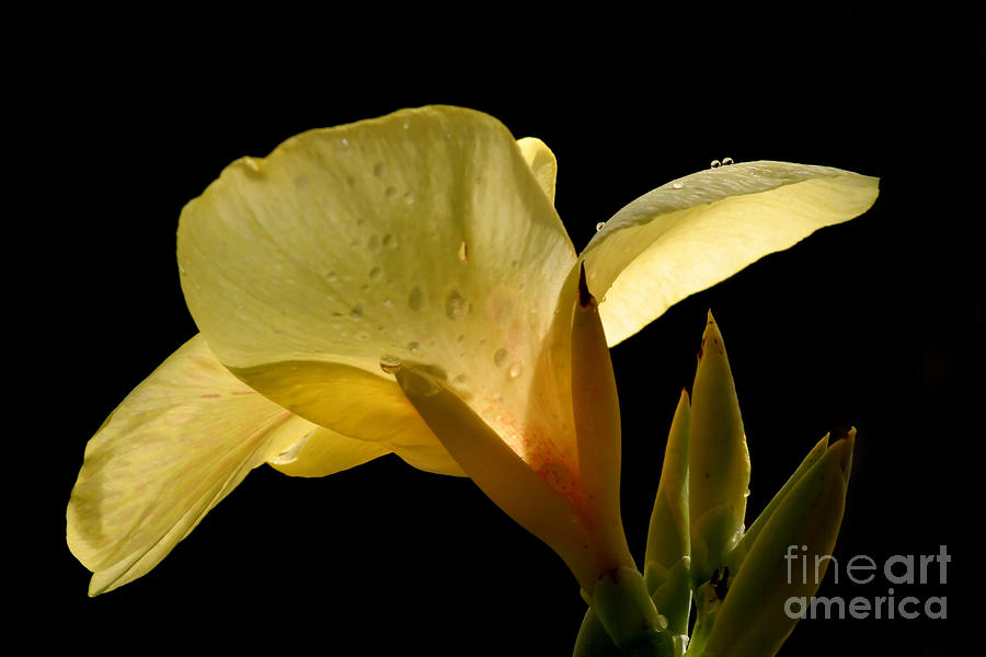 Yellow Canna Photograph  - Yellow Canna Fine Art Print