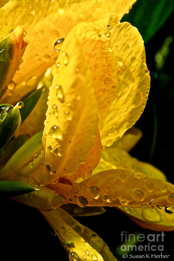 Yellow Canna Lily Photograph