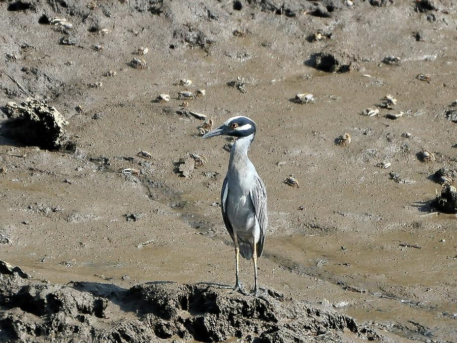 Yellow-crowned Night-heron Photograph