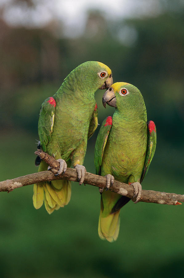Mp Photograph - Yellow-crowned Parrot Amazona by Thomas Marent