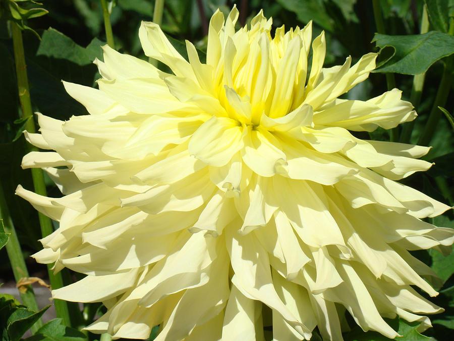 yellow dahlia flower - photo #4
