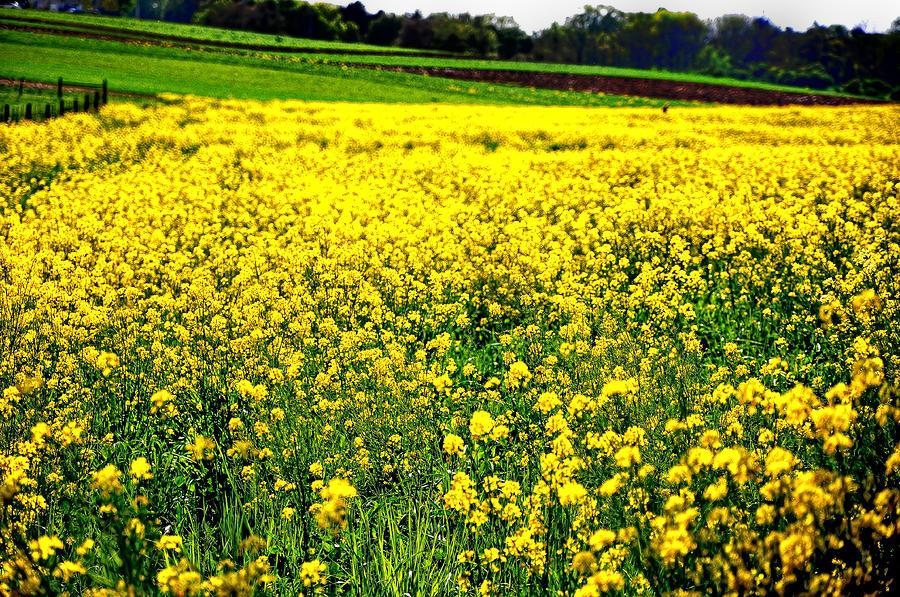 Yellow Field Photograph