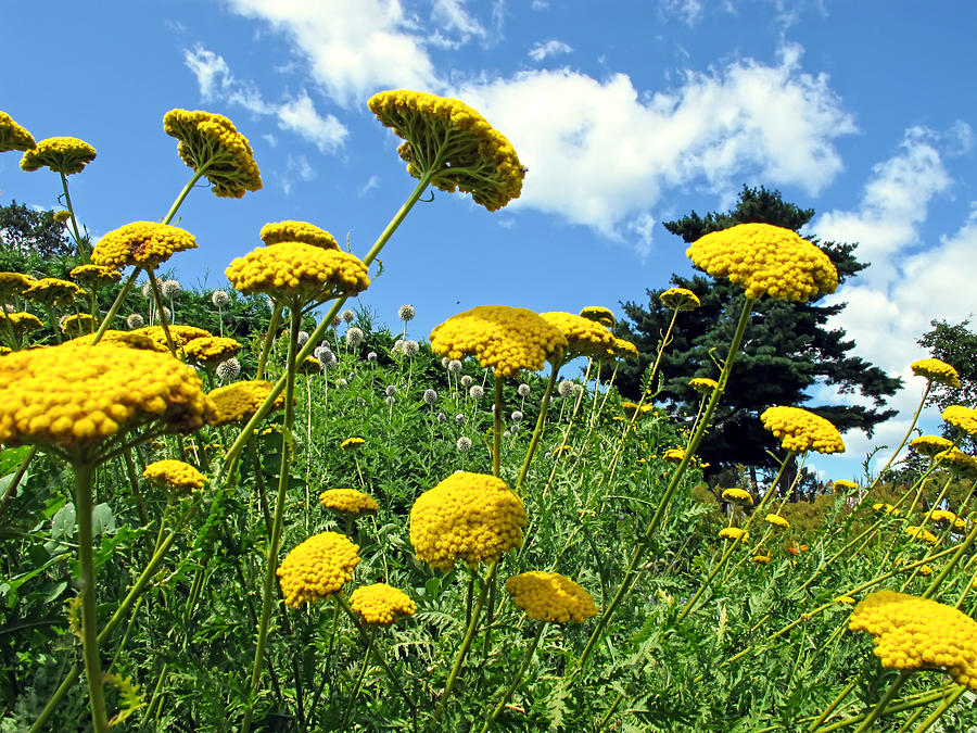 Yellow Flower Garden On A Grassy Slope Under A Blue Sky In