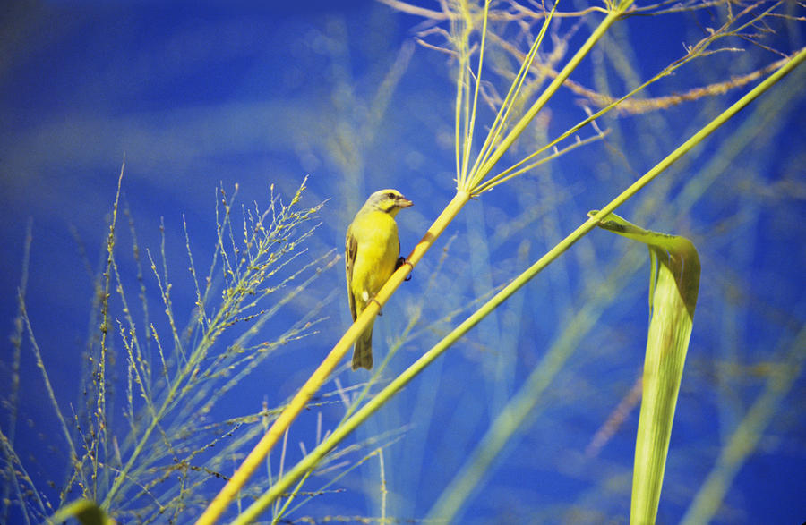 Yellow Fronted Canary Photograph