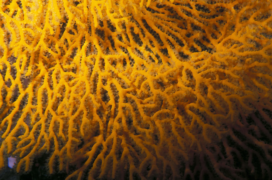 Yellow Gorgonian Sea Fan, Mopsella Photograph