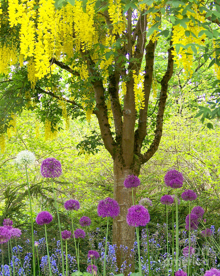Yellow Hanging Hydrangea Tree Photograph
