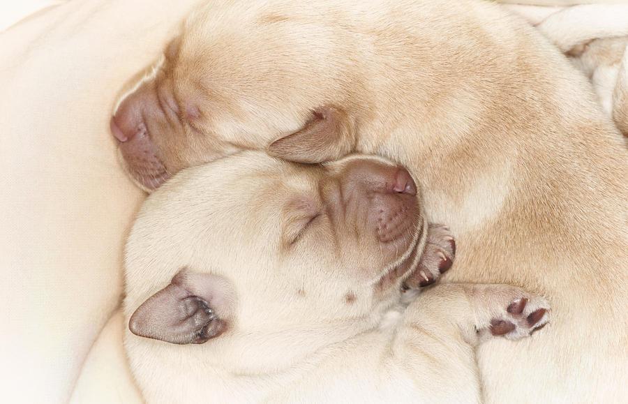 yellow lab puppy sleeping - photo #19