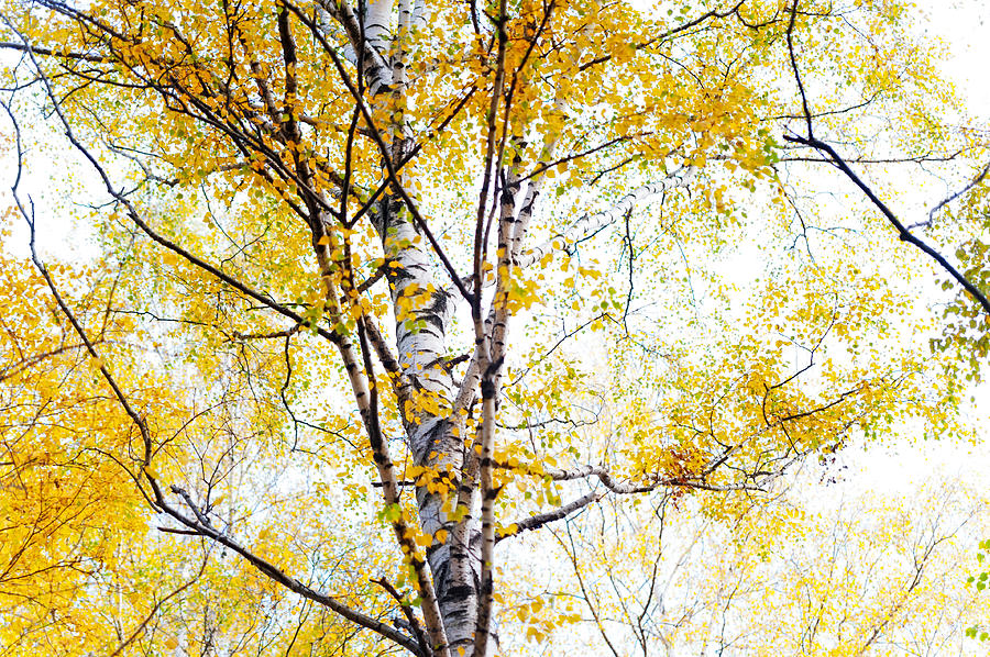 Yellow Lace Of The Birch Foliage  Photograph
