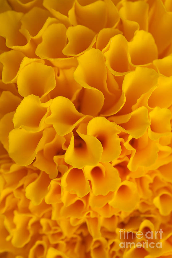 Yellow Marigold Macro View Photograph