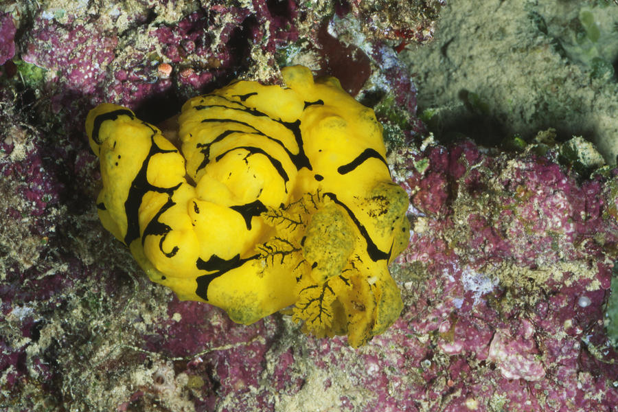 Yellow Nudibranch Or Sea Slug Photograph  - Yellow Nudibranch Or Sea Slug Fine Art Print