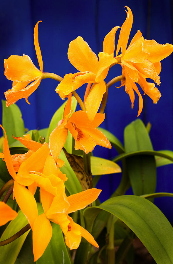 yellow Orange Orchids Photograph