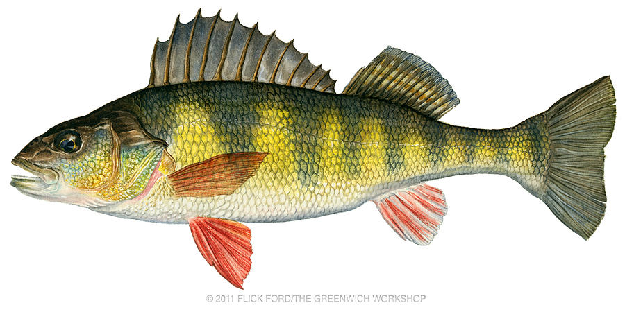 Yellow Perch By Flick Ford