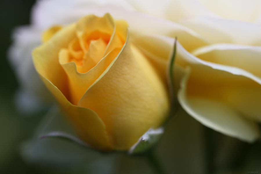 Yellow Rose Bud Flower Photograph  - Yellow Rose Bud Flower Fine Art Print