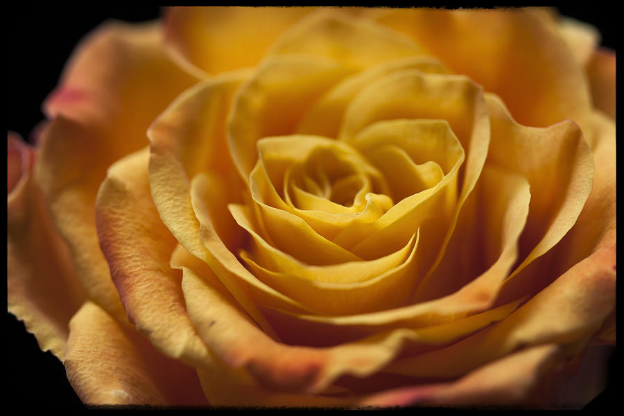 Yellow Rose Bud Photograph